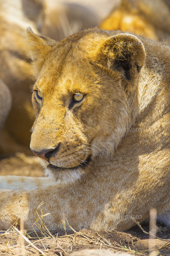 Lion rest together with the pride in Serengeti - Stock Photo - Images