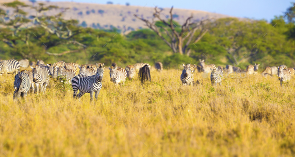 Large herd of zebras eating grass in Serengeti Africa - Stock Photo - Images