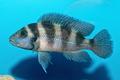 Portrait of cichlid fish (Neolamprologus sexfasciatus)