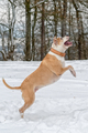 Staffordshire bull terrier in the jump