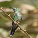 Green Crowned Brilliant Hummingbird - PhotoDune Item for Sale