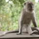 Monkey Sitting on a Rock and Goes Out of Frame. Monkey Forest in Ubud. Bali Island, Indonesia. - VideoHive Item for Sale