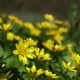 Ranunculus Ficaria Flowering on Early Spring Day in the Meadow