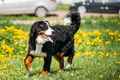 Bernese Mountain Dog Berner Sennenhund Play Outdoor In Green Spr