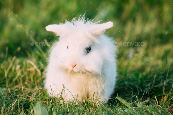 Dwarf Lop-Eared Decorative Miniature White Fluffy Rabbit Bunny I - Stock Photo - Images