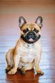 Dog French Bulldog sitting on floor indoor.