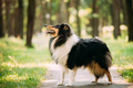 Scottish Rough Long-Haired Collie Lassie Adult Dog Sitting On Pa