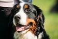 Bernese Mountain Dog Berner Sennenhund Close Up