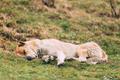 Central Asian Shepherd Dog Sleeping Outdoor.