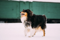 Funny Young Shetland Sheepdog, Sheltie, Collie Dog Playing And R