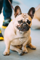 French Bulldog is small breed of domestic dog.