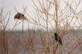 Two Wild Forest Birds Common Starling Sitting In Branch Tree In
