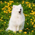 Young Happy Smiling White Samoyed Dog Or Bjelkier, Smiley, Sammy