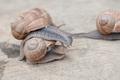 edible snail