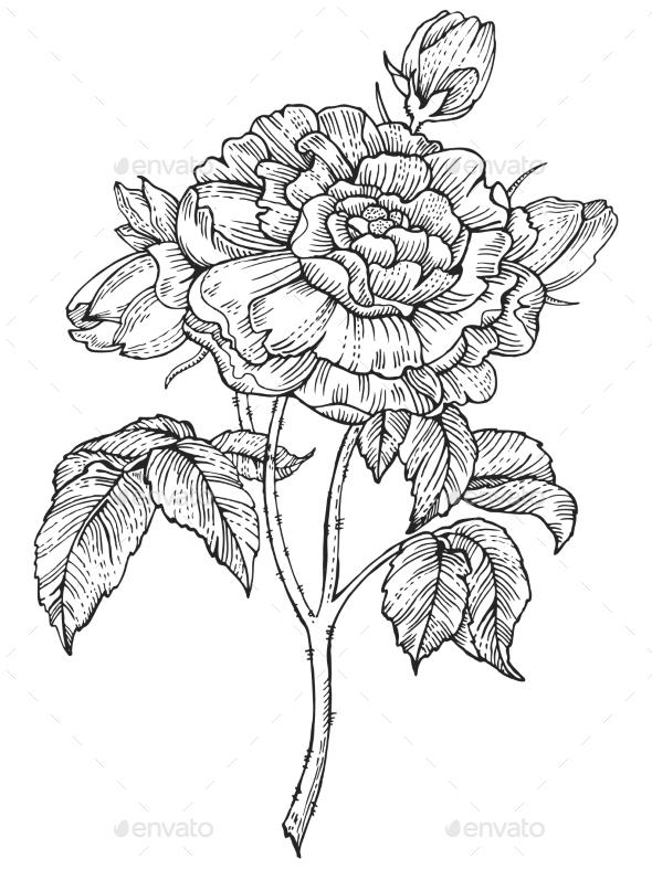 Rose Flower Engraving Style Vector Illustration - Flowers & Plants Nature