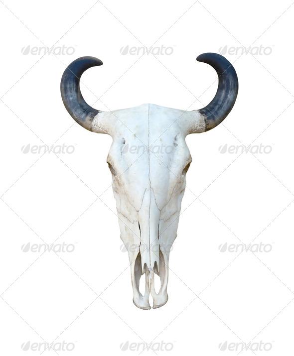 Buffalo skull isolate - Stock Photo - Images