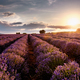 Sunset over lavender field - PhotoDune Item for Sale