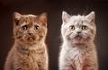 portrait of british kittens
