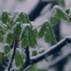 Green Leaves of Chestnuts in the Snow - VideoHive Item for Sale