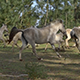 Wild Horses Running - VideoHive Item for Sale