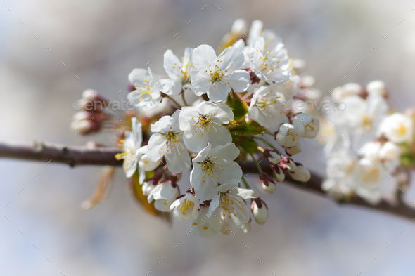 Blossoming cherry - Stock Photo - Images
