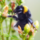Bumble bee on flower - pollination - PhotoDune Item for Sale