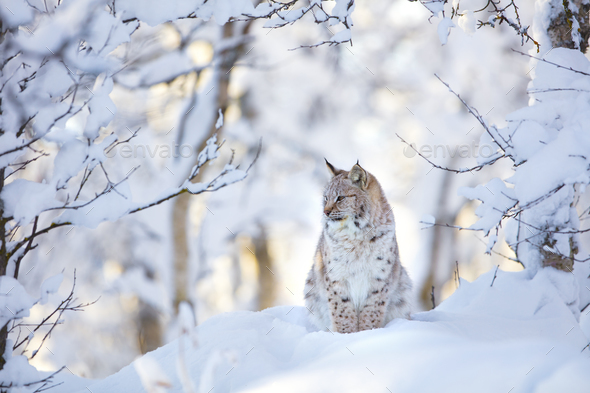 Beautiful lynx cat cub in the cold winter forest - Stock Photo - Images