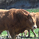 Cows Pyrenean 18 - VideoHive Item for Sale