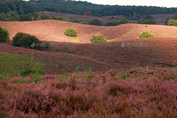 sunlight and shadow on heather flowering hills - Stock Photo - Images
