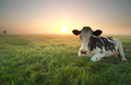 relaxed cow on pasture at sunrise