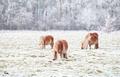 pony graze on snowy pasture