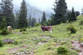 cattle on alpine meadows in fog