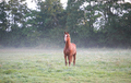 brown horse on misty pasture