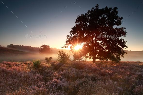 summer sunrise over flowering heather hills - Stock Photo - Images
