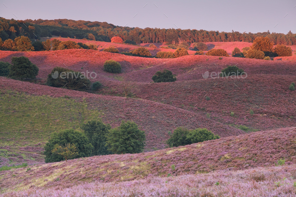 last sunbeams over hills with pink heather - Stock Photo - Images