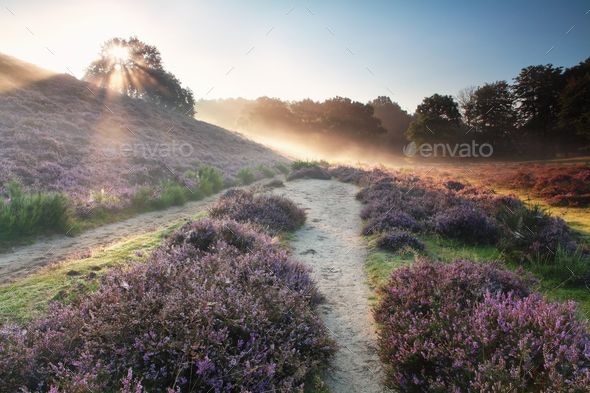 sunbeams behind the hill and flowering heather - Stock Photo - Images