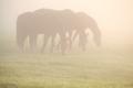 horses graze on pasture in fog
