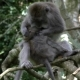 Monkey Family Comb Fleas in the Rainforest - VideoHive Item for Sale