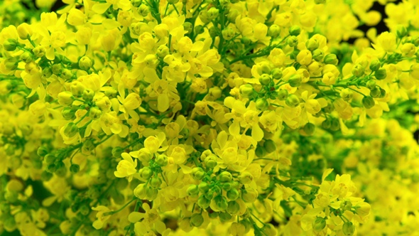 Spring yellow flowers bloom on the bush by nao98 videohive play preview video mightylinksfo