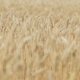 Ears Of Wheat Moving In The Wind At Sunset - VideoHive Item for Sale