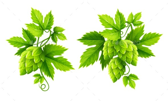 Fresh Hop Plants with Green Leaves Vector - Flowers & Plants Nature