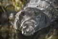Australian Freshwater Crocodile - PhotoDune Item for Sale