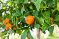 The fruit of the orange tree. - PhotoDune Item for Sale