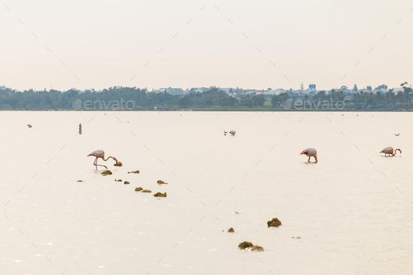 Pink Flamingo on Lake