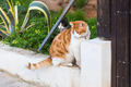 Concept of pets - Orange and white tabby cat with collar outdoor