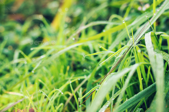 Fresh grass with dew drops close up - Stock Photo - Images