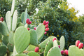 Prickly pear cactus with fruit