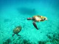 Sealife. Sea turtles swimming underwater - PhotoDune Item for Sale