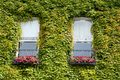 green ivy creeper on house wall - PhotoDune Item for Sale