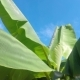 Banana Leaf on Banana Tree in Cambodia - VideoHive Item for Sale